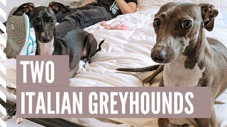 Life With 2 Italian Greyhounds 2019 | NYC VLOG 3