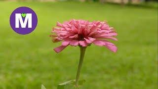 Różowy Kwiat - Koło Życia i Śmierci