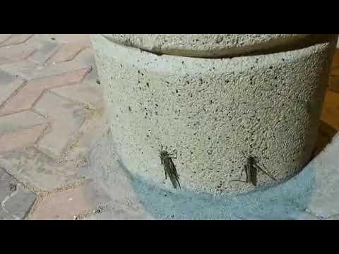 العرب اليوم - شاهد:أسراب من الجراد تجتاح منتزه