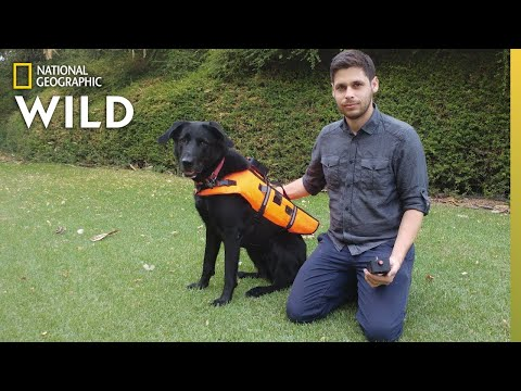 Dog Responds to Voiceless Commands Via Vibrating Vest | Nat Geo Wild