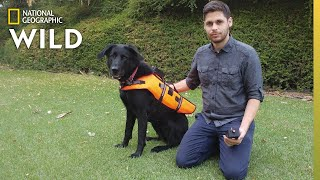 Dog Responds to Voiceless Commands Via Vibrating Vest | Nat Geo Wild
