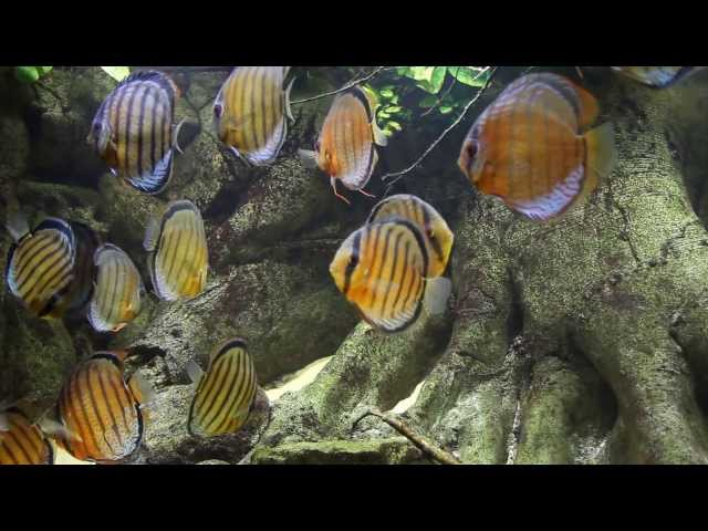 Wild Discus Aquarium - Jutai Green - Symphysodon tarzoo