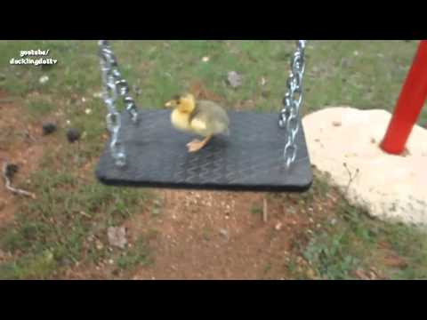 Watch First Swing With Cute Pet Duck !!  Hillarious :)