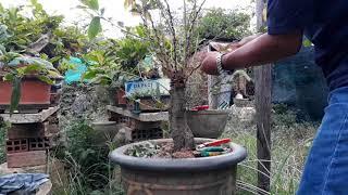 Tạo Dáng Cho Cây Mai Xin ý Tưởngposing For Yellow Apricot Trees