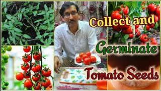 Best Technique to Collect and Germinate 🍅 Tomato Seeds