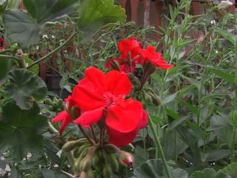 Égővörös nyári mező - virágoskert ötletek