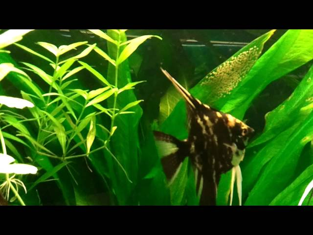 angel fish with eggs in tropical fish tank,
