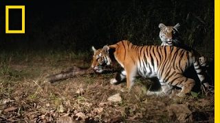 Watch: Extremely Rare Tigers Caught On Camera In Thailand | National Geographic thumbnail
