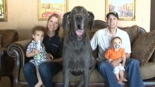 Giant George The Great Dane: Worlds Tallest Dog An Oprah Guest! | Good Morning America | ABC News
