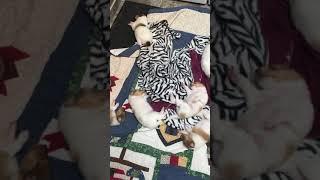 Collie Puppies Videos