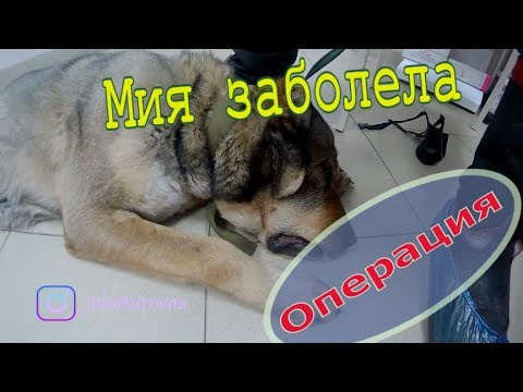 Операция по спасению САО// Миять заболела// Выпадение влагалища у собаки