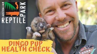 DINGO PUPPY HEALTH CHECK!   The Australian Reptile Park