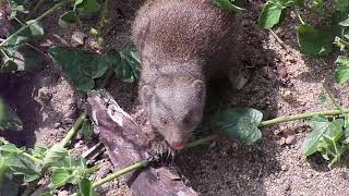 Djuma: Dwarf Mongoose group digging below cam for insects - 11:04 - 04/28/20