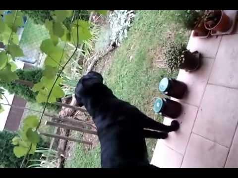 Labrador barking (loud)
