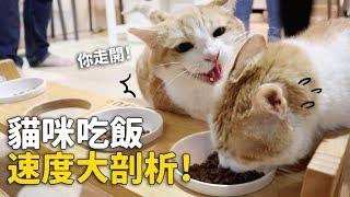 【貓咪吃飯速度大剖析!竟有暴走組!】志銘與狸貓
