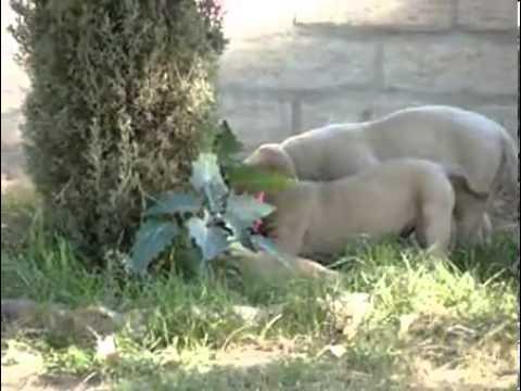 HUGE BONE CHampion sire pups