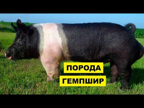 , title : 'Разведение свиней породы Гемпшир как бизнес идея | Гемпширские свиньи