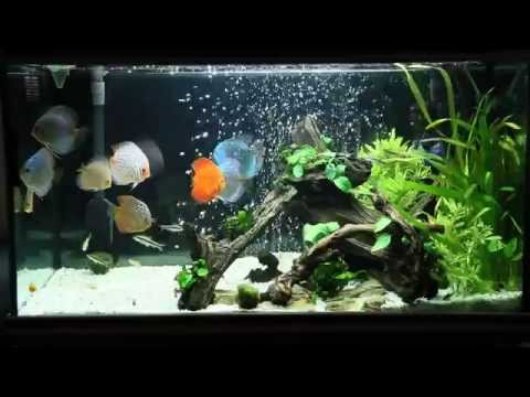 discus fish tank discus fish feeding on frozen beefheart 60