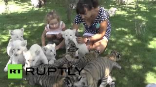 Детям дали поиграть с тигрятами и львятами крымского сафари-парка «Тайган»