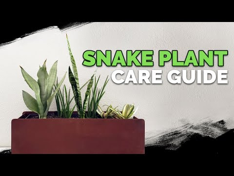 "Snake Plant Care: How to Grow The ""Mother In Law's Tongue""!"