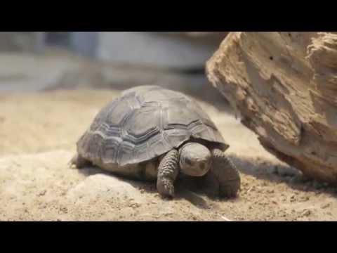 3 New Baby Galapagos Tortoises
