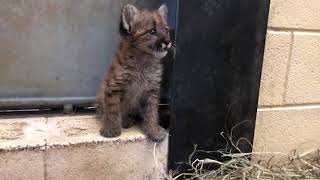 Bob Gives an Update on Giraffe Penny's Memorial Statue and Welcomes a New Mountain Lion Kitten