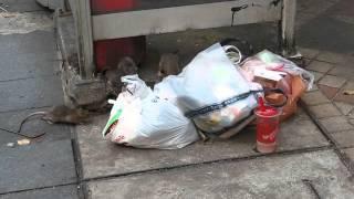 2015-03-22 Rats, Bangkok