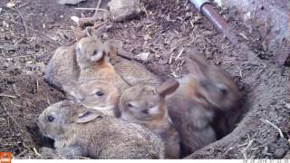 Young life - Baby rabbits and their mom (Bushnell Nature View)