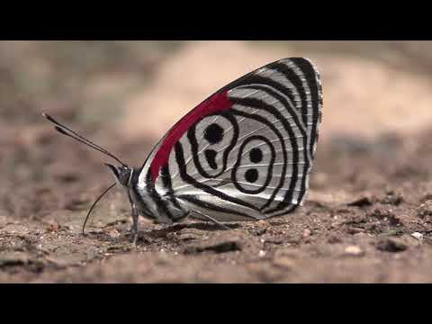 ウラモジタテハの舞 Eighty-eight butterfly (Diaethria)