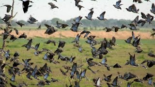 Chasse en Argentine - Pigeons au poste et Passée aux canards