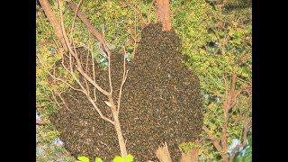 Как вернуть улетевший пчелиный рой (Черногория)