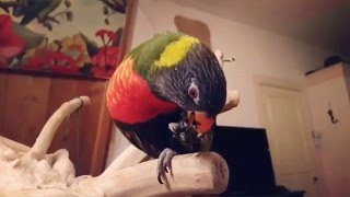 Rainbow Lorikeet Destroys A Blueberry