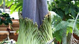 Niagara Parks Floral Showhouse's Titan Arum - The World's Tallest Flower