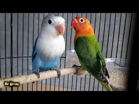 mp4 Lovebird Biola Mangsi, download Lovebird Biola Mangsi video klip Lovebird Biola Mangsi