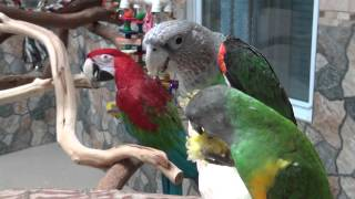 Kili, Truman, & Santina Enjoy Corn Together