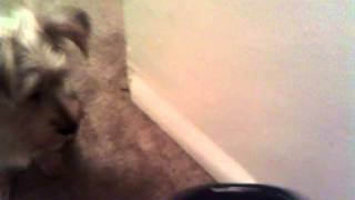 training my silky terrier