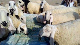 kajla sheep for sale in sargodha - मुफ्त ऑनलाइन