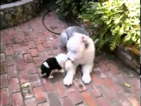 Old English Sheepdog Puppies LOLA