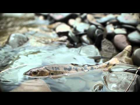 Snow Trout in Tibet