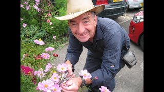 Cosmos Care In Summer - How To Grow 6 Different Flower Colours Including Dwarf Varieties