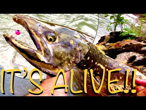 I was fly fishing for small trout with a four weight when this happened...YIKES!