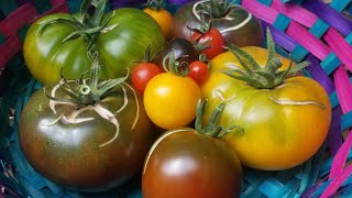 Homegrown Heirloom Tomato Taste-Test // Urban Container Garden // Learning To Grow