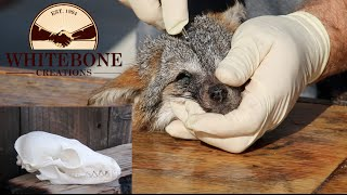"""HOW TO CLEAN A FOX SKULL """"GRAPHIC"""""""