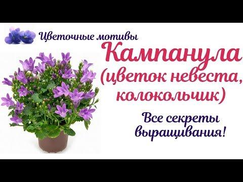 Кампанула (цветок жених невеста, колокольчик): посадка, уход, размножение. Домашняя королева!