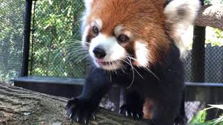 Home Safari - Zoofari Edition - Red Panda