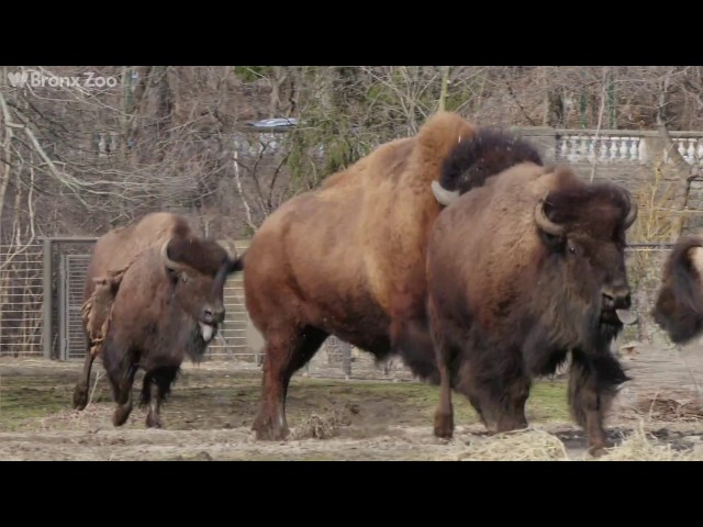 A Herd Of Bison Was Donated To The Bronx Zoo By Native American Tribes