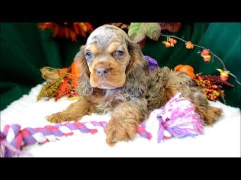 Latte Chocolate Merle Tan Female Cocker Spaniel Puppy for sale