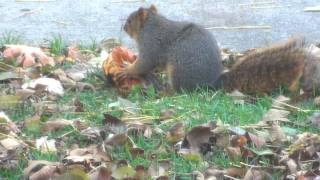 """""""Snatching Pumpkins"""" - The Story of a Squirrel"""