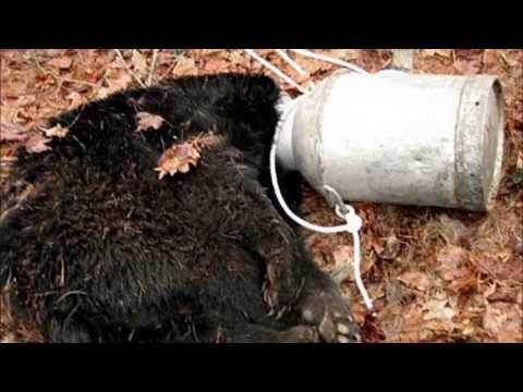 Bear With Head Stuck In Jar Saved