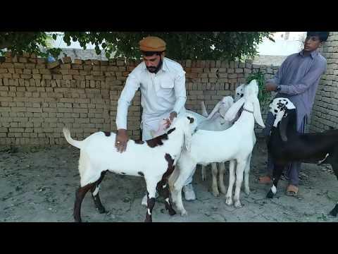Mohammed Shan Ali goat farm location Dera Ghazi Khan